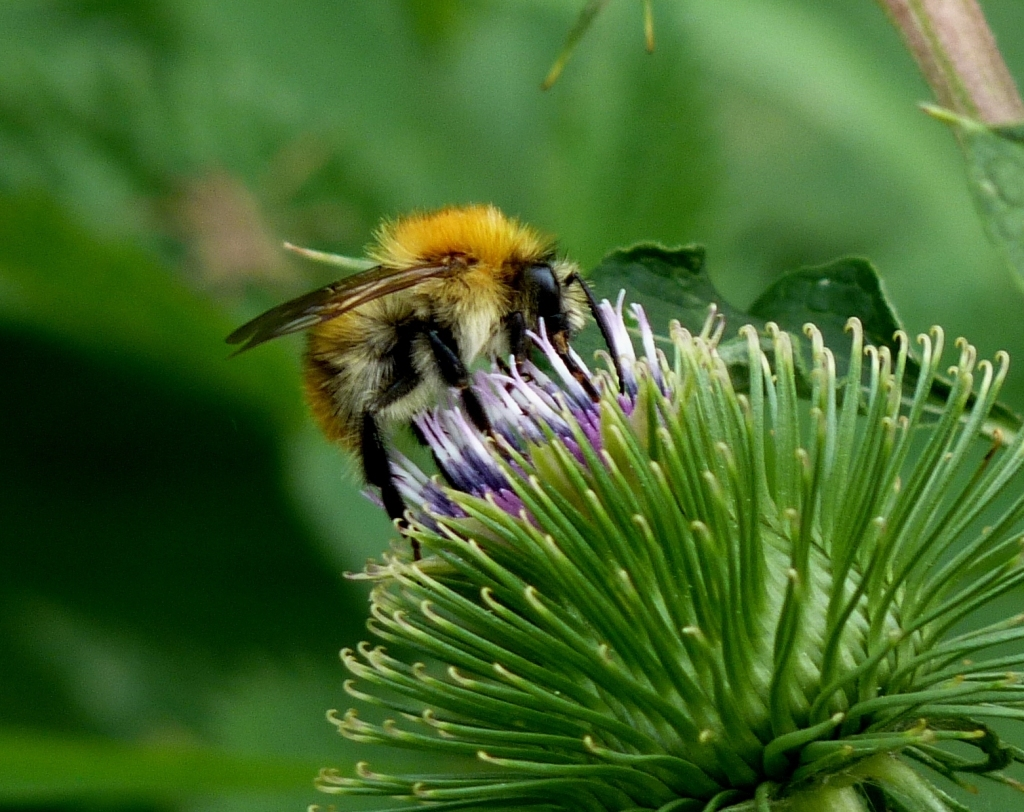 Common Carder Bee feeding