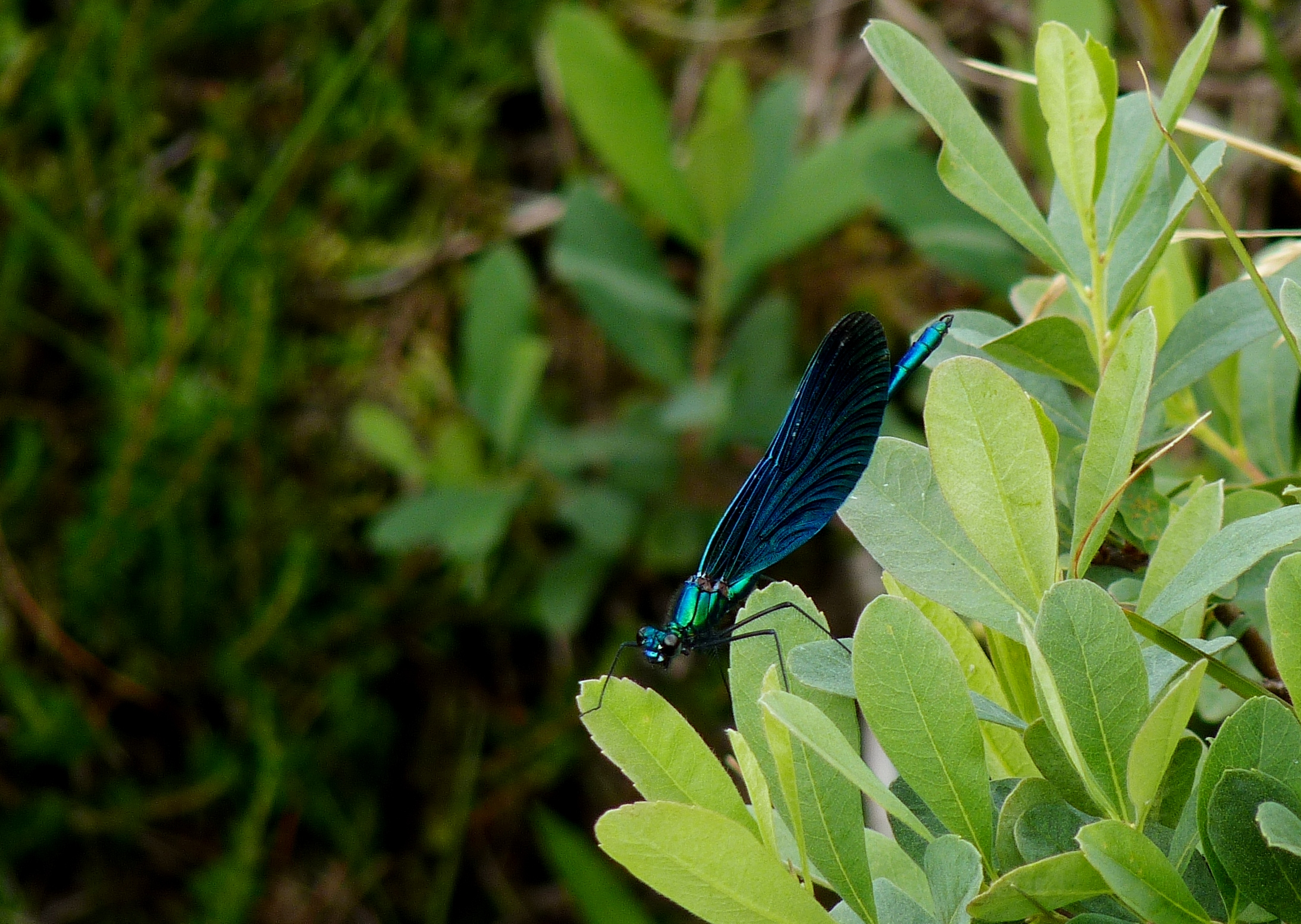 Male Beautiful Demoiselle Damselfly